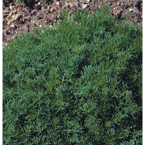 Herb - Chamomile Lawn or Roman - Chamaemelum Nobile - 200 Seeds