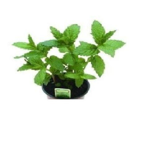 Herb - Peppermint - 1000 Seeds