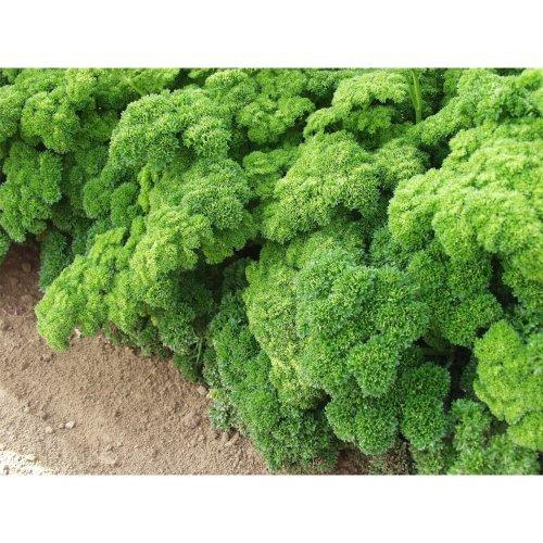 Organic Herb - Parsley - Grune Perle - 100 Seeds