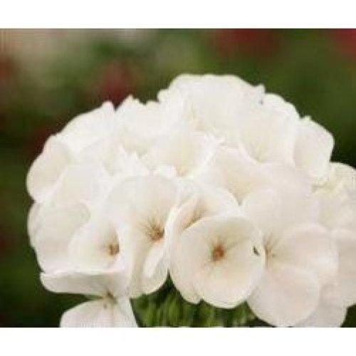 Flower - Geranium - Spirit White F2 - 10 Seeds