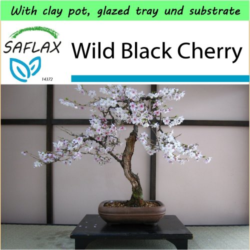 SAFLAX Garden to Go - Bonsai - Wild Black Cherry - Prunus - 30 seeds