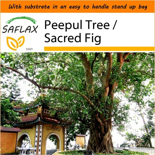 SAFLAX Garden in the Bag - Peepul Tree / Sacred Fig - Ficus - 100 seeds