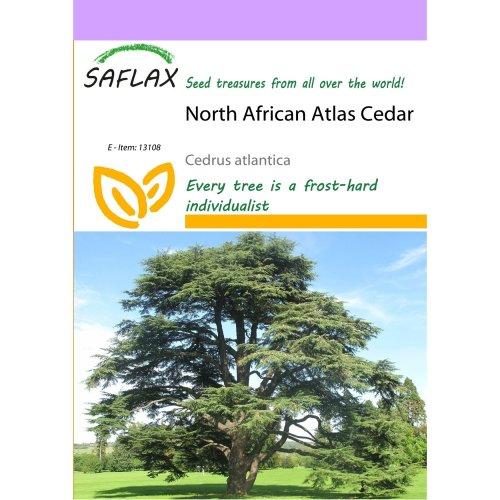 Saflax  - North African Atlas Cedar - Cedrus Atlantica - 20 Seeds