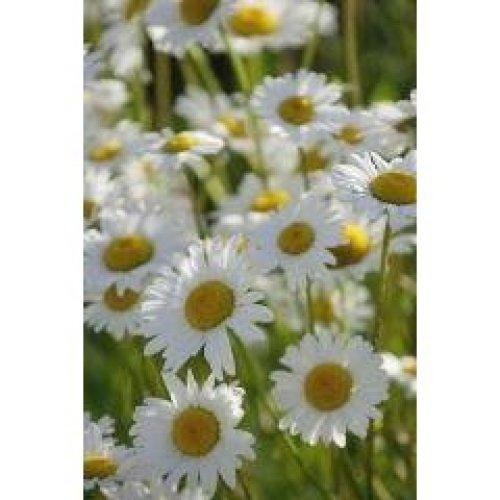 Wild Flower - Oxeye Daisy - Leucanthemum Vulgare - 10g