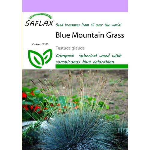 Saflax  - Blue Mountain Grass - Festuca Glauca - 50 Seeds