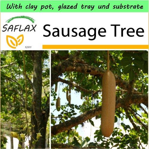 SAFLAX Garden to Go - Sausage Tree - Kigelia - 10 seeds