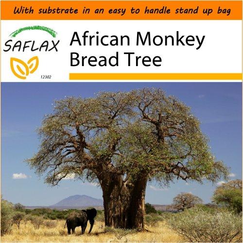 SAFLAX Garden in the Bag - African Monkey Bread Tree - Adansonia - 6 seeds