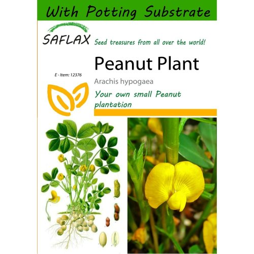 Saflax  - Peanut Plant - Arachis Hypogaea - 8 Seeds - with Potting Substrate for Better Cultivation