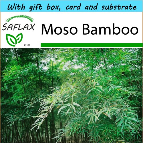 SAFLAX Gift Set - Moso Bamboo - Phyllostachys pubescens - 20 seeds - With gift box, card, label and potting substrate