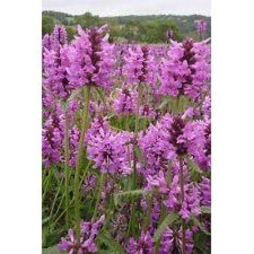 Wild Flower - Betony - Stachys Officinalis - 2000 Seeds