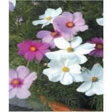 Flower - Cosmos - Sonata Mixed - 20 Seeds